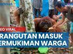 video-viral-orangutan-masuk-ke-permukiman-warga-di-kalimantan-timur.jpg