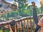 wisatawan-sedang-memberi-makan-jerapah-di-taman-safari-prigen.jpg