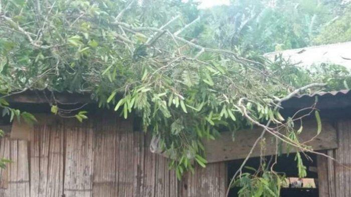 Angin Kencang Rumah Janda di Meler Manggarai Tertindih Pohon Tumbang