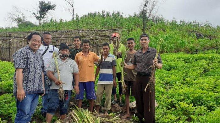 Peternak di NTT Tak Perlu Khawatir, Rumput Odot Kini Jadi Solusi Pakan