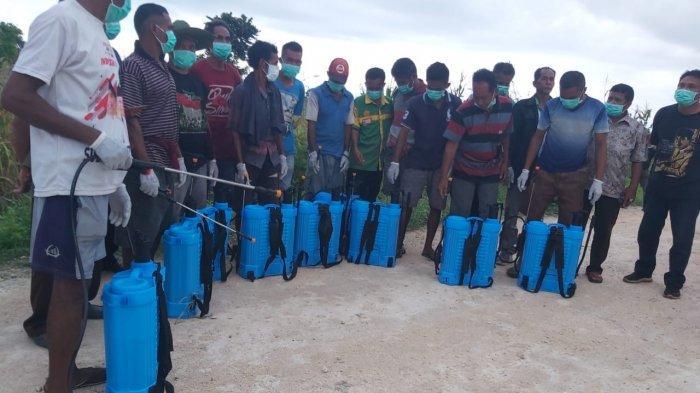 Belalang Kembara Serang Lahan Tanaman Jagung Petani Lokory Sumba Barat, 5 Hektar udes