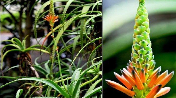 10 Manfaat Bunga Lidah Buaya Termasuk Keluarkan Racun