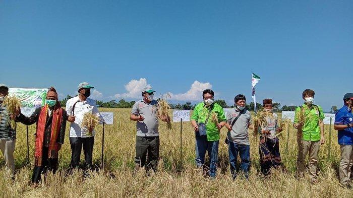 Gunakan Atonik 6.0 L, Hasil Produksi Padi Sawah Kelompok Tani di Borong Matim Meningkat Signifikan