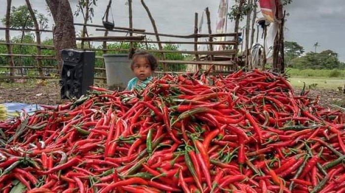 Sebastian Mamoh, Petani Milenial Malaka Hasilkan Puluhan Juta Rupiah dari Budidaya Cabai Merah