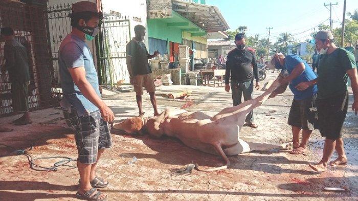 Idul Adha di Sumba Timur, Semua Hewan Kurban Dinyatakan Sehat