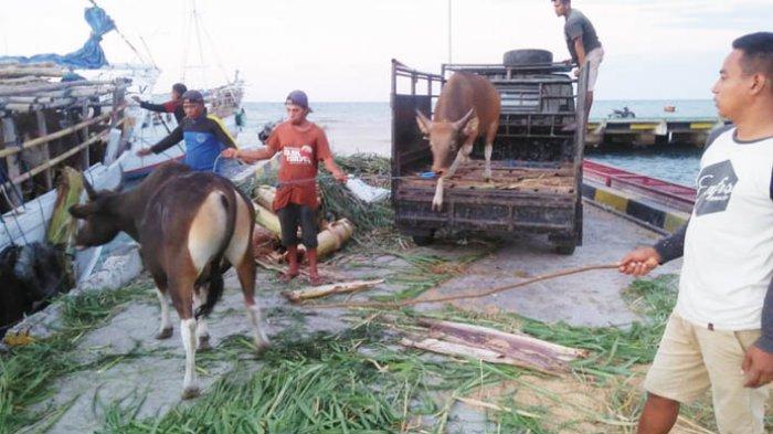 Di Nagekeo UD Bina Tani Kirim Ratusan Ekor Sapi ke Pulau Jawa