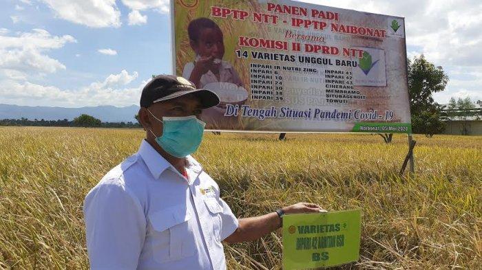 BPTP NTT dan IPPTPP Naibonat bersama Komisi II DPRD NTT Panen Padi di Naibonat