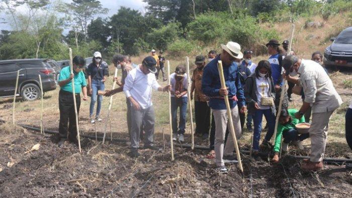 Gubernur NTT Pimpin Panen Padi dan Jagung di Persawahan Kolidoki, Kabupaten Kupang