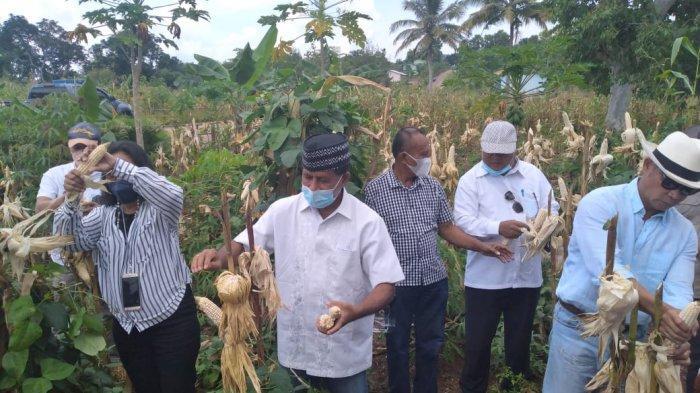 Gubernur  NTT, Viktor Bungtilu Laiskodat (kanan) saat panen jagung