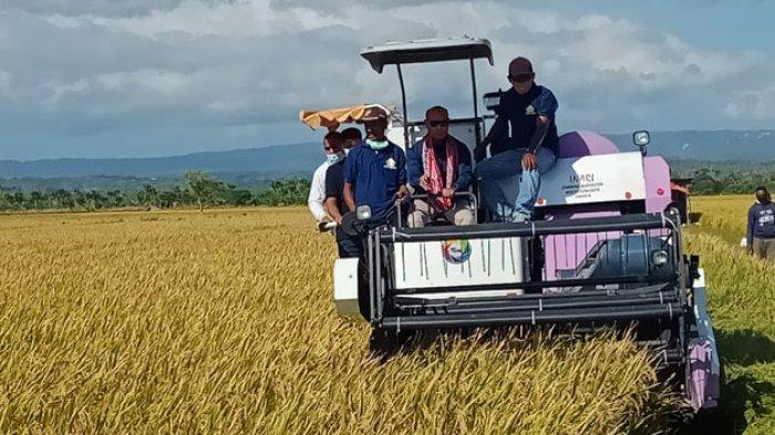 Gubernur Viktor Laiskodat Panen Padi TJPS di Manusak, Minta Bupati 2 Kali Seminggu Tinjau Sawah