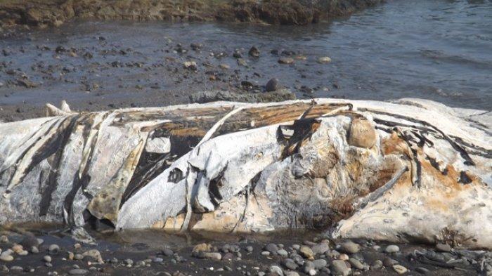 Ikan  Paus  terdampar di  Desa  Kolidetung, Kecamatan  Lela, Kabupaten  Sikka,  Pulau  Flores. (*)