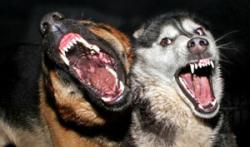 Waspada! Anjing Rabies Kembali Serang Warga di Sambi Rampas, Manggarai Timur