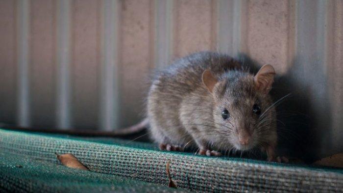 Jangan Biarkan Tikus Berkeliaran dalam Rumah, Usir dengan 5 Bumbu Dapur Ini