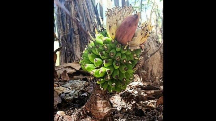 VIRAL, Pohon Pisang Ajaib Muncul di Jambi, Setelah Tumbuh Langsung Berbuah, Mengandung Poliploid?