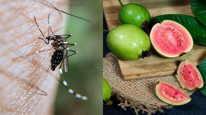 Nyamuk Kabur Dengan Buah Jambu Biji, Begini Cara Mudah Usir Nyamuk