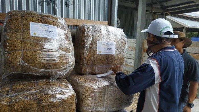 JIFER (Jerami Fermentasi ) Produksi BBPP Kupang Diminati Pengusaha Ternak Sapi