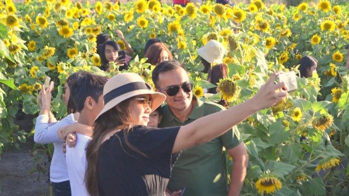 TRIBUN WIKI:Jiwan Garden Wisata Foto Kebun Bunga Matahari Pertama di Provinsi NTT