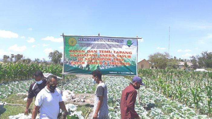 BPTP NTT Bersama Dua Kelompok Tani di Kelurahan Naibonat Gelar Panen Bersama