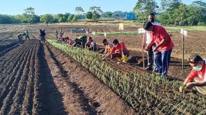 Bupati Kodi Mete Bersama Kelompok Tani Homba Kawango Tanam Bawang Merah Lokananta