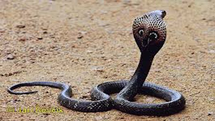 Duh Ular Kobra Masuk ke Celana Pria Ini Saat Sedang Terlelap Tidur, Begini yang Terjadi, Menakutkan!