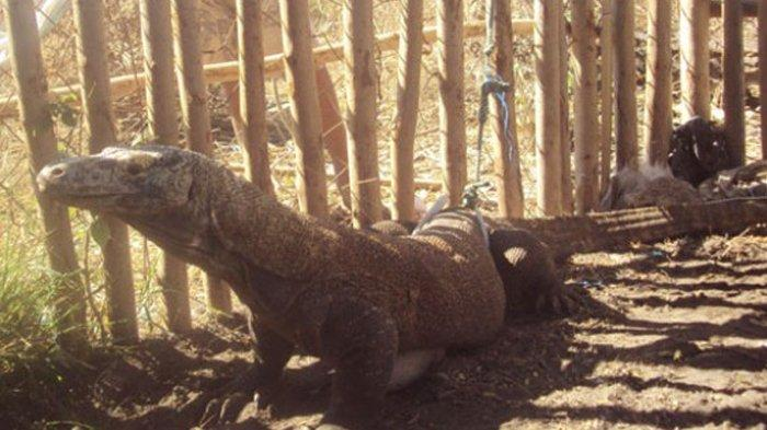Pesona Obyek Wisaya Manggarai Timur, Komodo Pota yang Menggoda