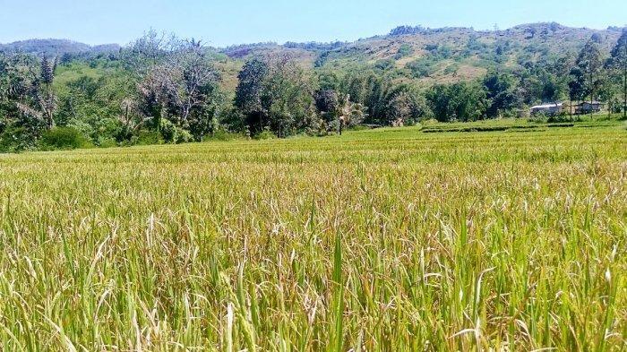 Puluhan Hektar Sawah di Persawahan Ogi Kabupaten Ngada Terancam Gagal Panen