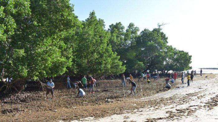 Rehabilitasi Ekosistem Pesisir, Dinas Lingkungan Hidup Kabupaten Belu Tanam Magrove