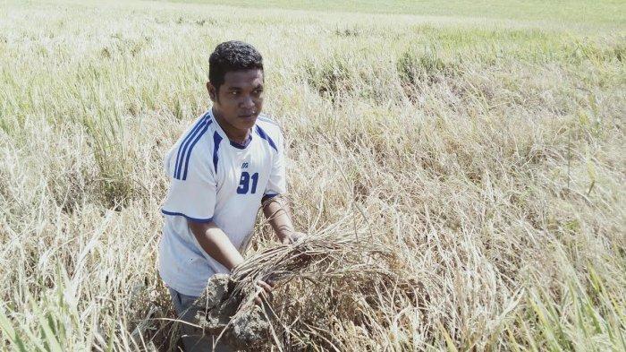 Hama Wereng Serang Padi Di Desa Oebobo Batu Putih Kabupaten Tts Pos Kupang