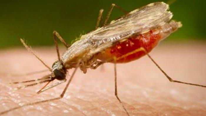Bisa Sebabkan Kematian, Kenali Gejala Penyakit Malaria, Mulai Demam hingga Nyeri Sendi