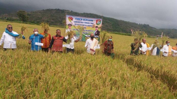 Didampingi Pejabat Bupati Sumba Barat, Gubernur NTT Viktor Laiskodat Panen Raya Padi di Wanokaka