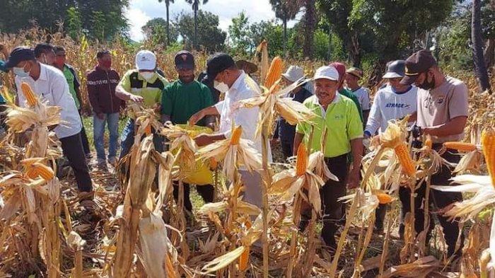 Wujudkan Revolusi Pertanian di Flotim, Bupati Antonius Gege Hadjon Panen Raya Jagung di Titehena