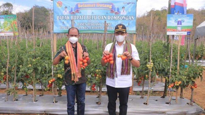 Panen Ratusan Kilogram Tomat di Tengah Pandemi Covid-19, Bupati dan Wakil Bupati Belu Bangga