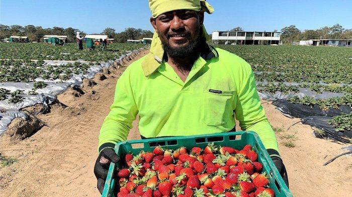 Petani Stroberi Australia Rugi Besar, Stroberi Terbuang-buang Karena Kekurangan Pekerja Musiman