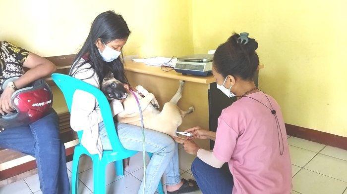 Warga Labuan Bajo Antar Anjing Peliharaan Jalani Vaksin Rabies, Ini Suasannya