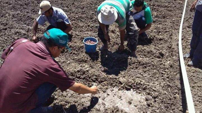 Penyuluh Manggarai Timur Tetap Dampingi Petani Tanam Bawang Merah Meskipun Ditengah Ancaman Covid 19