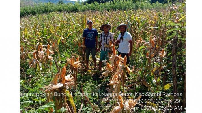 Petani dan Penyuluh Panen Jagung di Sambi Rampas Manggarai Timur