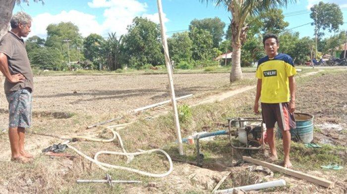 Areal Persawahan di Mauliru Kabupaten Sumba Timur Kering, Ini Penyebabnya