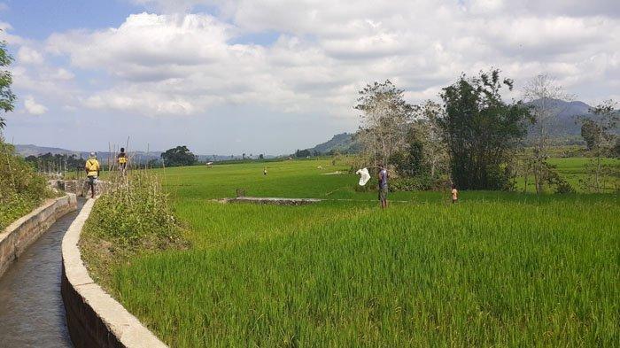 Petani Siaga, Belalang Kembara Mulai Serang Tanaman Padi Sawah di Waikelo Sawah, SBD