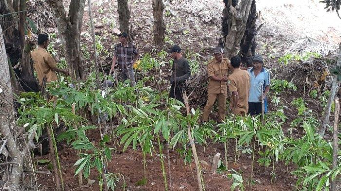 Animo Budidaya Tanaman Porang di Manggarai Barat Makin Tinggi, Golo Damu Tanam 67 Ribu Anakan
