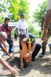 Poktan Pahtain di Desa Oefafi Lakukan Penanaman Hijauan Pakan Ternak