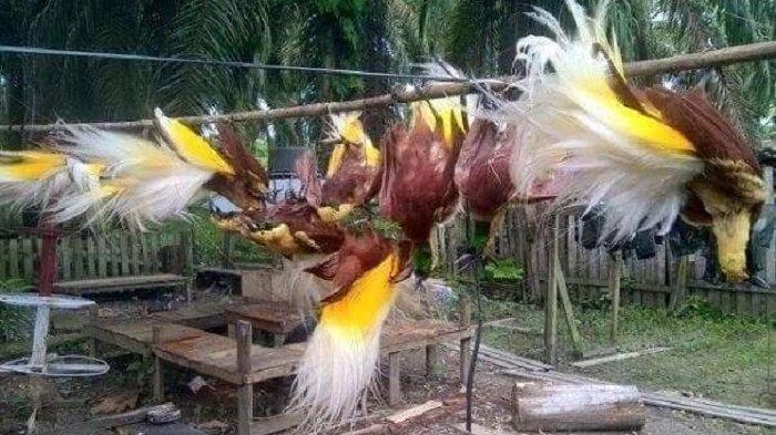 Burung Cenderawasih Jangan Diburu demi Event PON XX Papua, Walikota Minta Buatkan Imitasi