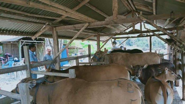 Dinas Peternakan Belu Edukasi Peternak Bangun Rumah Singgah Ternak