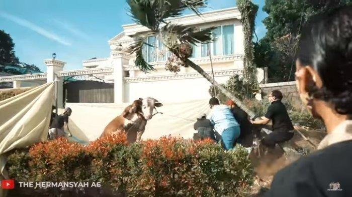 NONTON VIDEO Sapi Kurban Ashanty Berontak Saat Akan Disembelih, Pohon di Istana Cinere Sampai Roboh