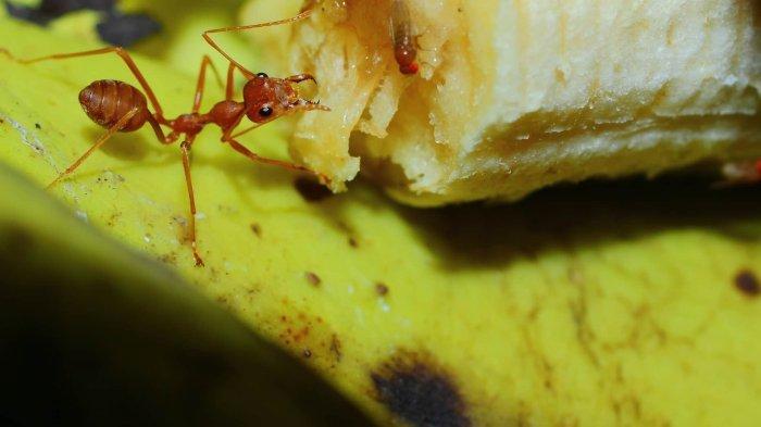 Tak Usa Keburu Panik, 8 Bahan Alami Ini Dijamin Ampuh Usir Semut Dalam Rumah