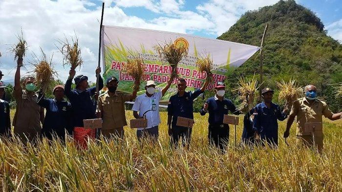 BPTP NTT Panen Demfarm VUB Padi Khusus dan Padi Spesifik di Mata Wae Mabar
