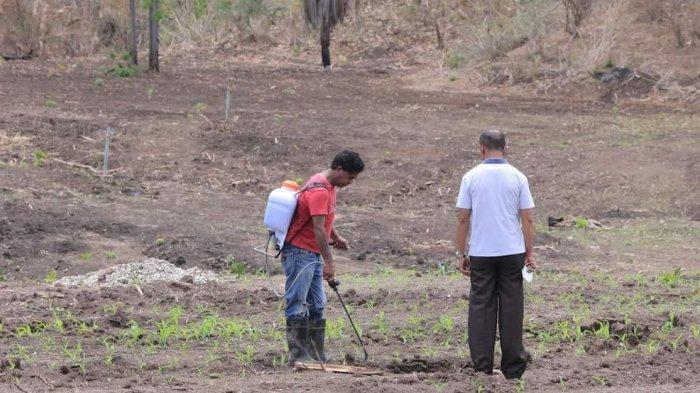 Jagung di Lokasi Food Estate Kabupaten Belu Mulai Tumbuh