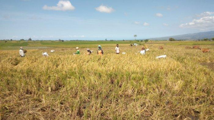 Poktan Daleng Sampa Pasok Pangan untuk Lembor Selatan di Tengah Pandemi Corona