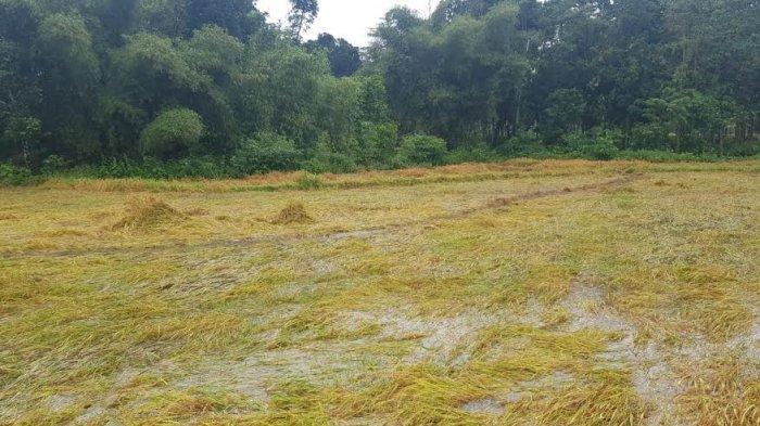 Hujan Lebat Guyur Kota Waikabubak Kabupaten Sumba Barat Rendam,Rendam 1 Ha Tanaman Padi