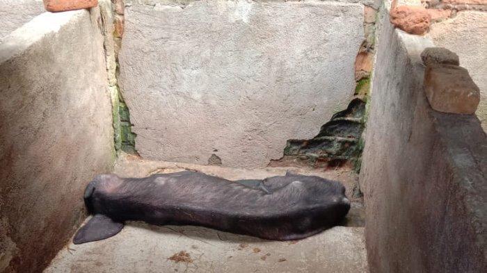 Ternak babi yang sakit diduga terserang ASF di Kecamatan Lembor, Kabupaten Mabar