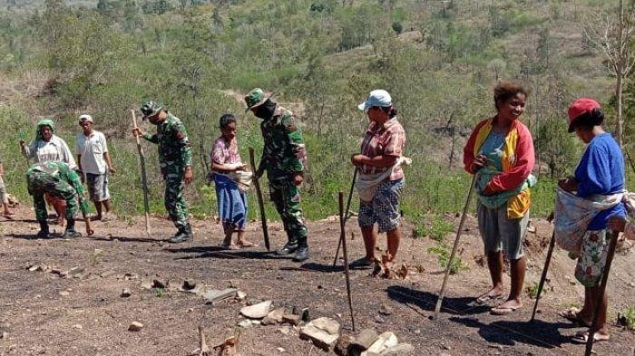 TNI Turun Kebun Tanam Jagung Bersama Petani